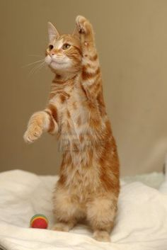 CAT the Next Generation (ᵔᴥᵔ) red cat stands on its hind legs