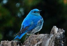 Idaho's state bird ~ Mountain Bluebird