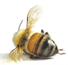 Listening to bees