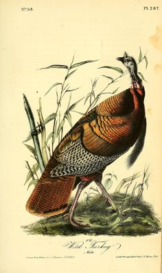 "John James Audubon (Jean-Jacques Audubon), ""The Wild Turkey (Male)"" - Plate I, Birds of America, Published: London Medium: Hand-colored aquatint, etching and line engraving. Dimensions: 25 inches x 36 inches. Audubon Prints, Audubon Birds, Bird Illustration, Botanical Illustration, Turkey Art, Wild Turkey, Old Illustrations, Birds Of America, John James Audubon"