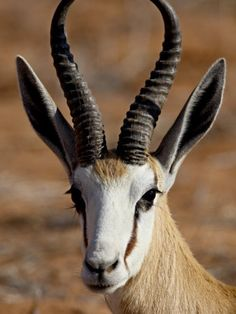 Springbok Deer Pictures, Art For Sale Online, Out Of Africa, Pallet Art, African Animals, Animal Kingdom, Animals Beautiful, South Africa, Wildlife