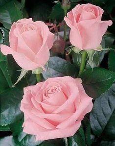Rosas rosadas | Pink roses