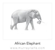 African Elephant  Pencil drawing by Murray Ralfe