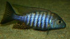 aulonocara brevinidus