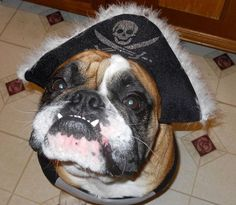 Cutest Pirate Evaaaarrrr  Baggy Bulldogs
