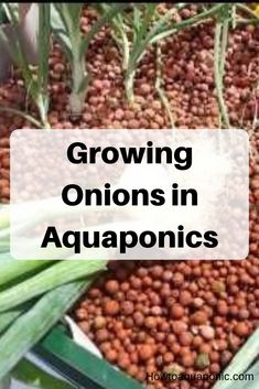 Growing Onions in Aquaponics - HowtoAquaponic Aquaponics Greenhouse, Aquaponics Plants, Aquaponics System, Hydroponic Gardening, Hydroponics, Green Onions Growing, Types Of Onions, Fish Farming, Grow Organic