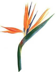 Bird of paradise flower drawing