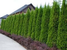 "8' tall evergreen privacy Hedge  called Emerald Thuja.   compact grower quickly forms a dense 8' tall evergreen screen and can grow over 18"" per year"
