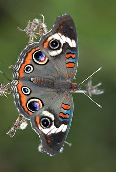 ˚Common Buckeye by DrPhotoMoto @ Flickr