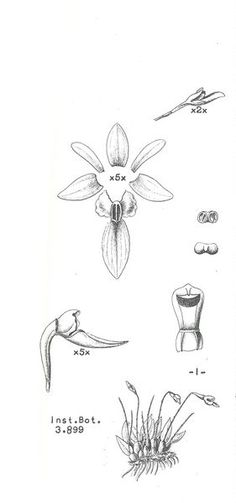 Homalopetalum hypoleptum