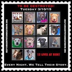 TO BE DESTROYED: 13 beautiful dogs to be euthanized by NYC ACC- TUES 3/10/15. This is a VERY HIGH KILL shelter group. YOU may be the only hope for these pups! ****PLEASE SHARE EVERYWHERE!To rescue a Death Row Dog, Please read this: http://urgentpetsondeathrow.org/must-read/ To view the full album, please click here: https://www.facebook.com/media/set/?set=a.611290788883804.1073741851.152876678058553&type=3
