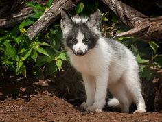 Trouble Sometimes Comes in Small Package - Young Marble Fox (Vulpes vulpes) Stares Out