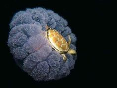 Turtle rides jelly fish.