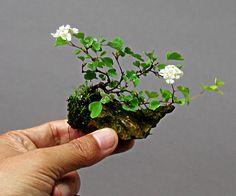 Japanese Mini Bonsai. #bonsai
