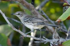 Bahama Mockingbird(Mimus gundlachii)