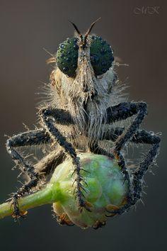 Немного о ктырях #Asilidae #Robber fly #Ктырь Author: Miron Karlinsky