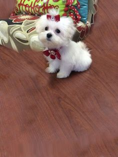 Teacup #maltese puppy for sale in Florida.