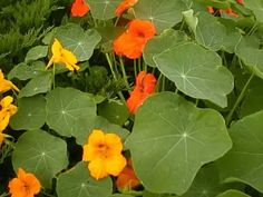"""Once established, Nasturtium plants take little or no care.  As they spread and grow, their foliage resembles a sea of small lily pad leaves topped with brightly colored, fragrant, edible 2"""" blossoms.              There are two main forms of Nasturtiums.  The dwarf varieties will grow to 15"""" tall as they form nice compact clumps.  Climbing varieties grow up to eight feet as they spread along the ground, but are also capable of climbing up six foot fences, stumps or other structures."""