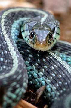 Photos - Amphibian / Reptiles -Blue Stripe Garter Snake - Thamnophis sirtalis similis (yes, they are mildly venomous) Les Reptiles, Reptiles And Amphibians, Mammals, Cool Snakes, Colorful Snakes, Nature Animals, Animals And Pets, Cute Animals, Beaux Serpents