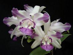 Cattleya Intermedia Coerulea Aquinii 'Blue Rhapsody' x Self Orchid Plant NBS | eBay