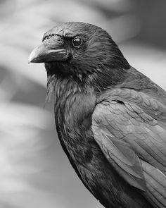 Crow DSC_6023   Flickr - Photo Sharing!