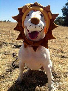 #Bull #Terrier Lion