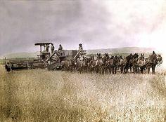 Mule powered harvester - 1900.