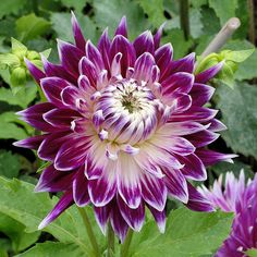 , from Iryna Rare Flowers, Exotic Flowers, Amazing Flowers, Colorful Flowers, Purple Flowers, Beautiful Flowers, Dahlia Flowers, Clematis, Great Small Garden Ideas