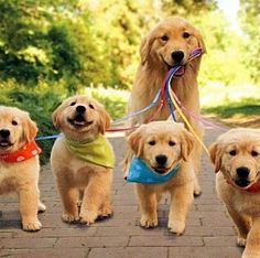 Golden Retrievers - they are such sweet, adorable dogs!