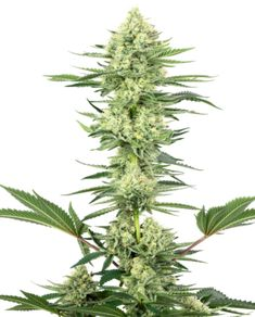 White Gorilla Haze Feminized Seeds by White Label – Sensi Seeds UK Amnesia, Cannabis, Best Track, Hemp Seeds, Cactus Plants, Vegetable Garden, Bonsai, Planting Flowers, Herbs