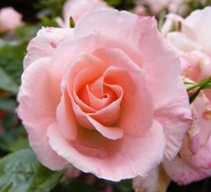 Rosa 'Gentle Touch' (Miniature / Patio Rose)