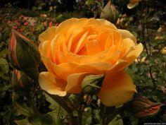 j adore les roses !!!!!!