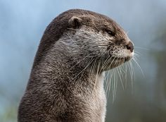 Otter is silently displeased - December 4, 2016