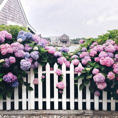 when in doubt, hydrangeas on nantucket. from summer 2014