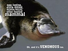 """Platypus venom: Although powerful enough to kill smaller animals, the venom is not lethal to humans. However, it produces excruciating pain which may be intense enough to incapacitate the victim. The pain develops into a long-lasting hyperalgesia that can persist for months+ and does not respond to morphine.  And the venom comes from """"spurs"""" on the back feet!"""