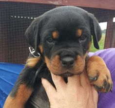 I want another one! #lovemyrottie