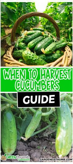 Learn how to know when to pick cucumbers can be a challenge. Our guide teaches when to harvest cucumbers that are growing. We give you bonus tips on what to do with your cuke slices too. Cucumber Seeds, Cucumber Plant, When To Harvest Cucumbers, When To Pick Cucumbers, Organic Vegetable Seeds, Organic Vegetables, Organic Gardening, Vegetable Garden For Beginners, Gardens