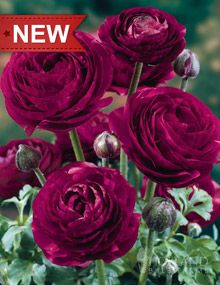 """Pauline Violet Ranunculus;  Height: 12-16""""  Bulb Size: 7+ cm  Deer Resistant: Yes  Perennializing: Yes  Grow In Containers: Yes  Indoor Forcing: Yes  Hardiness Zone: 7 - 11  Suitable Zone: 4 - 11  Planting Time: spring  Planting Depths: 2-3""""  Planting Spacing: 4-6"""""""