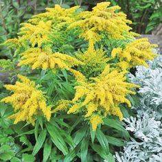 Native to North America, the Solidago 'Golden Dwarf' is a cheerful perennial that produces bright golden-yellow flowers above green lance shaped leaves. These wonderful long-flowering hardy plants blossom from June right through to October providing Small Yellow Flowers, Summer Flowers, Summer Colors, Cut Flowers, Colorful Flowers, House Plant Delivery, Border Plants, Hardy Plants, Small Farm