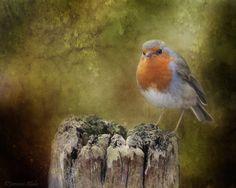 Robin  by Alida Jorissen