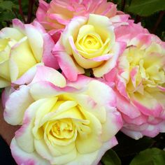 Music Box, Fragrance: Slight fragrance Bloom time:  Repeats June - Frost Size: 3'h x 3'w Shape: Mounded shrub