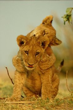 ☀Two African Lion Cubs Panthera Leo, by Beverly Joubert