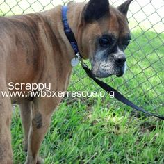 Scrappy is a handsome old gent who is headed for the Pacific Northwest soon. Find out more about him on our website -  www.nwboxerrescue.org or our Facebook page -  www.facebook.com/northwestboxerrescue