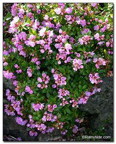 Kalmiopsis fragrans Hardiness: Sunset zones: 4-6, 14-17. USDA zones: 7-9. Heat zones: 9-7.