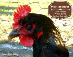 Fresh Eggs Daily®: Molt Meatloaf: Much-Needed Protein for Feather Regrowth in Chickens