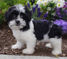 35 Amazing Shih Tzu Cross Breeds