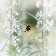 Let us save the bees . I Love Bees, Birds And The Bees, Hives And Honey, Honey Bees, Buzz Bee, Bees And Wasps, White Gardens, Save The Bees, Bee Happy