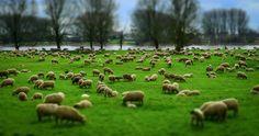 Qual è l'origine del detto popolare contare le pecore? Scoprilo con Focus Junior!