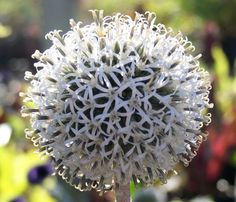 ECHINOPS sphaerocephalus 'Arctic Glow' (white globe thistle)  This unique, white, summer flowering form has large, ball-shaped blooms over silvery green foliage with distinctive mahogany-red stems. Grows to 32 inches. Sun.