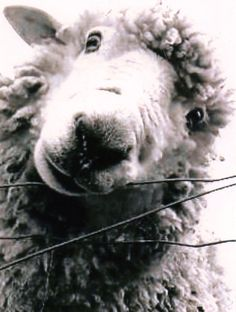 Items similar to Sheep, Lamb art, Nursery art,  Sweet Photograph taken of a lamb in New Zealand in Black and white on Etsy